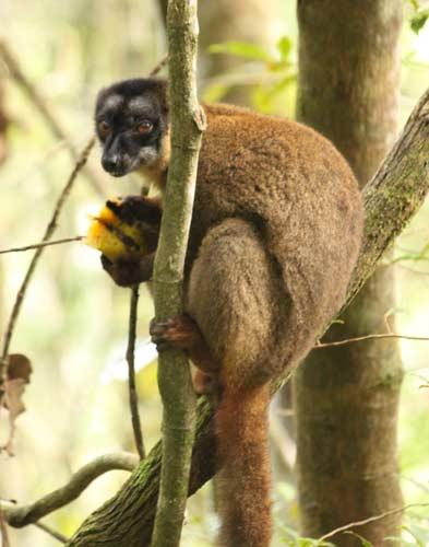 lemur0