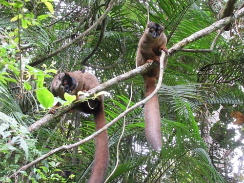 lemur2